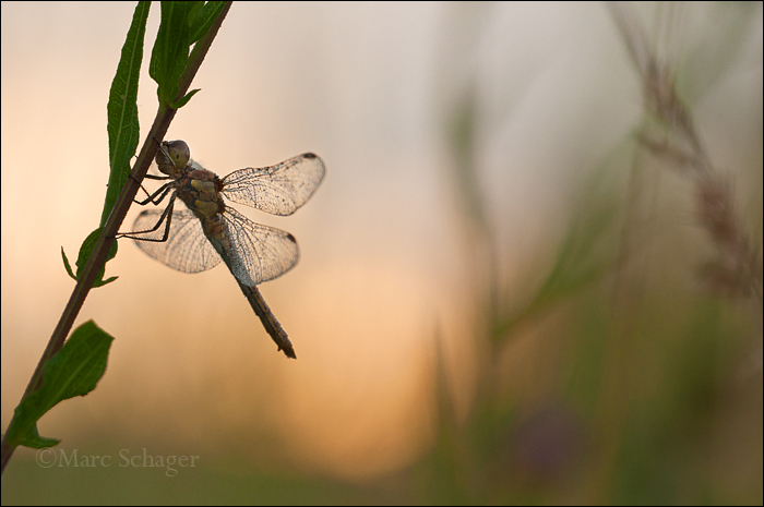 Dragonfly by sunset.