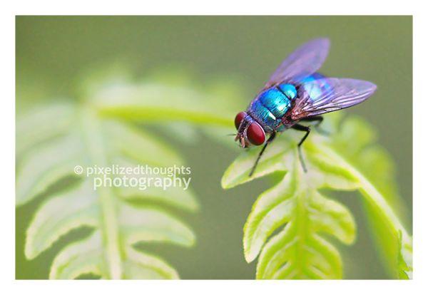 blow fly diptera