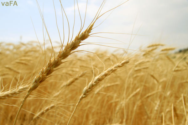 Farm,Wheat,Life.Iran