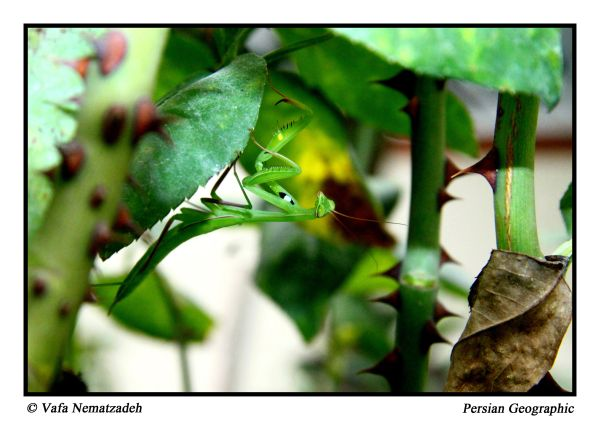 Beautiful Mantis.Iran