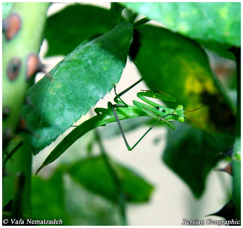 Green Mantis.Iran