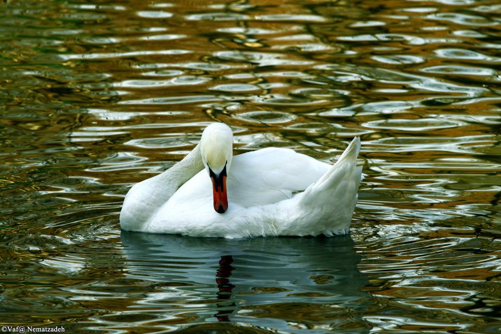 White Swan / Magnific