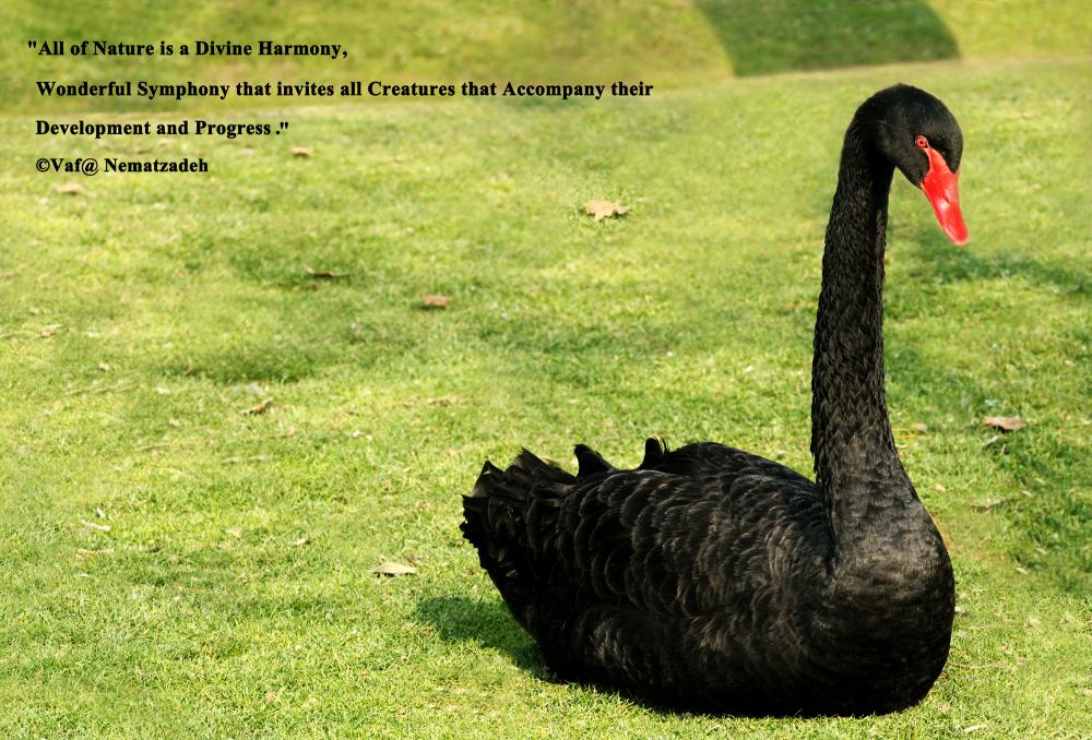 Magnific Black Swan