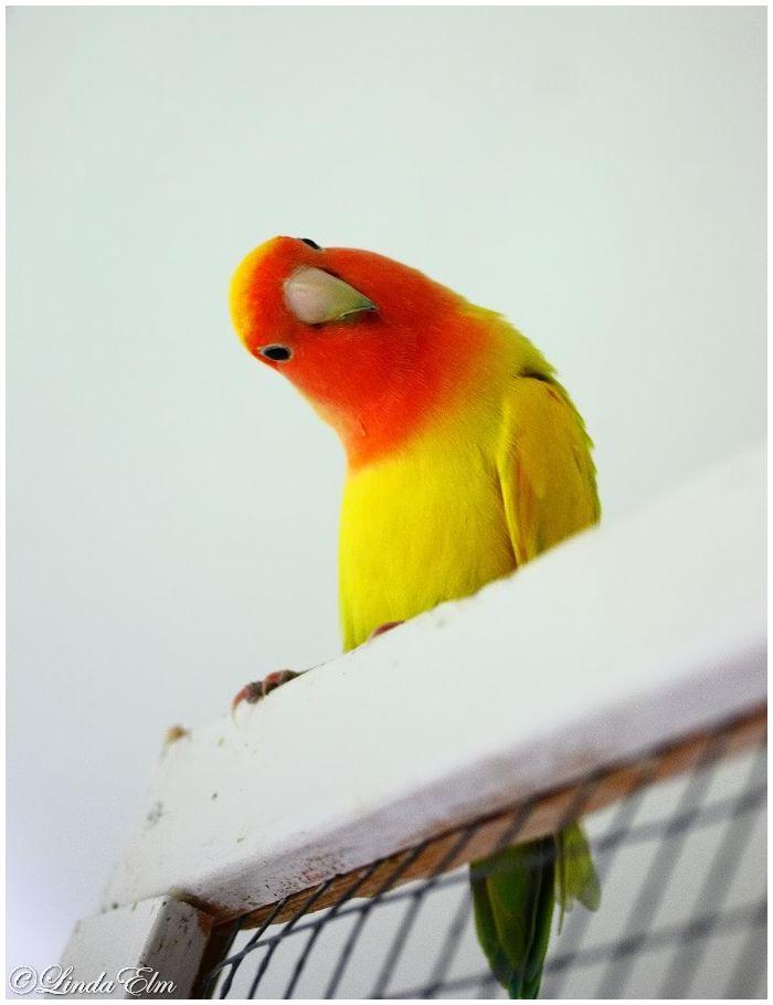 Love parrot