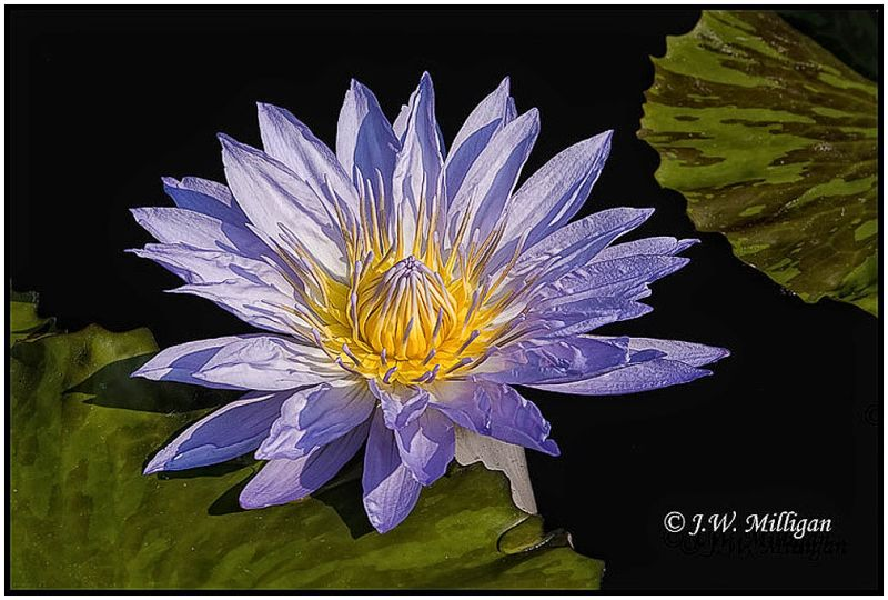 lavender day blooming water lily