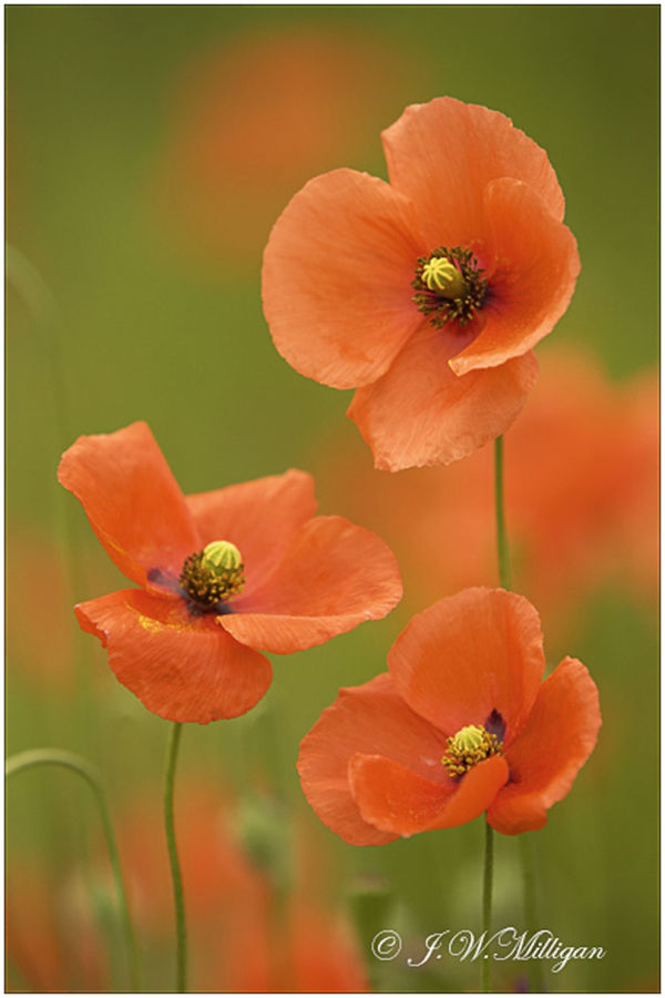 three orange poppies