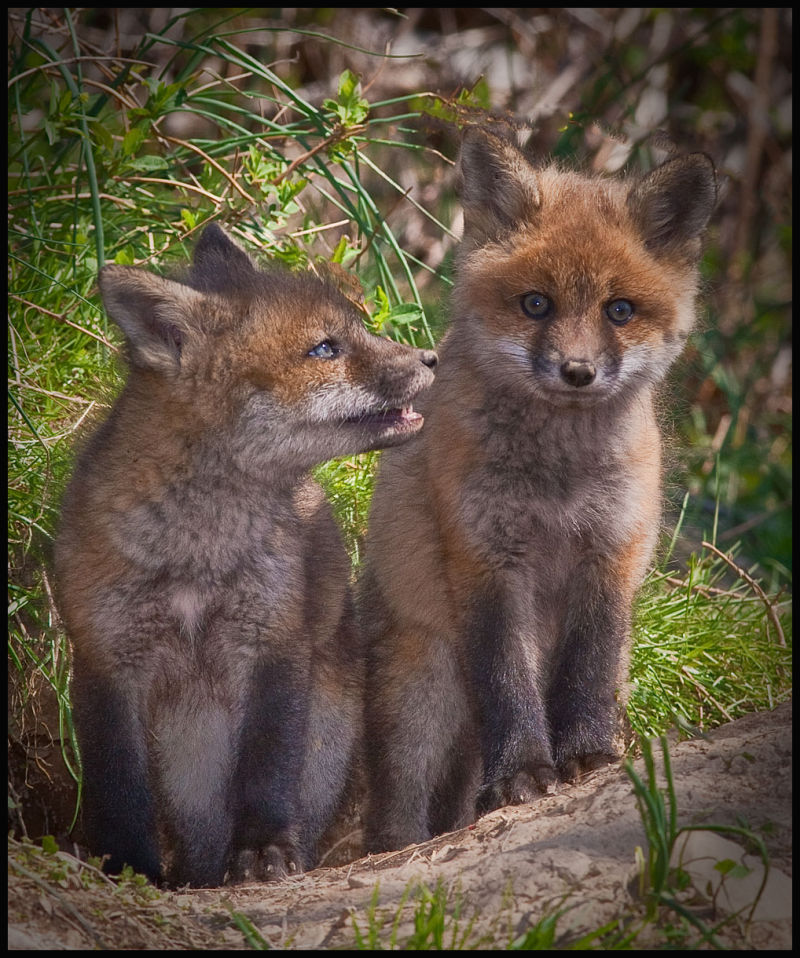 two fox kits share a mount in the morning light