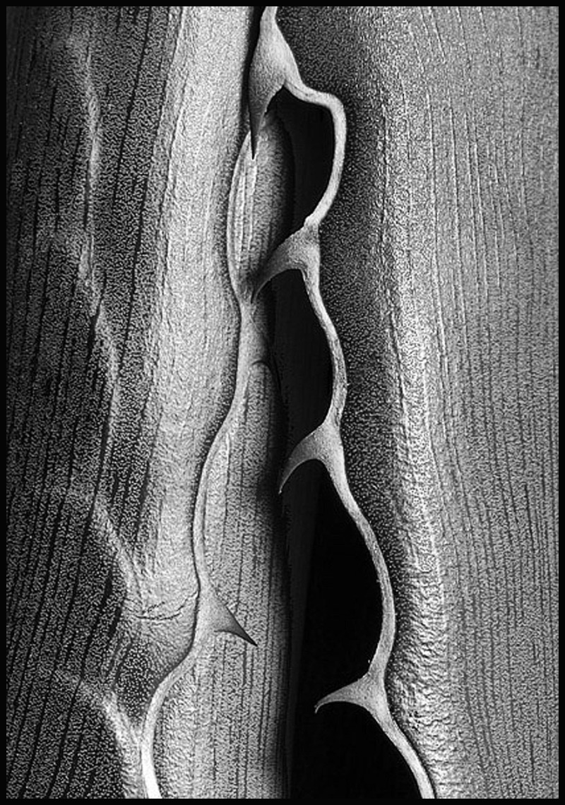 Macro of an agave