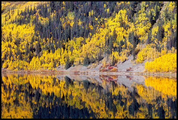 Morning light  reflects the vivid color of Aspens
