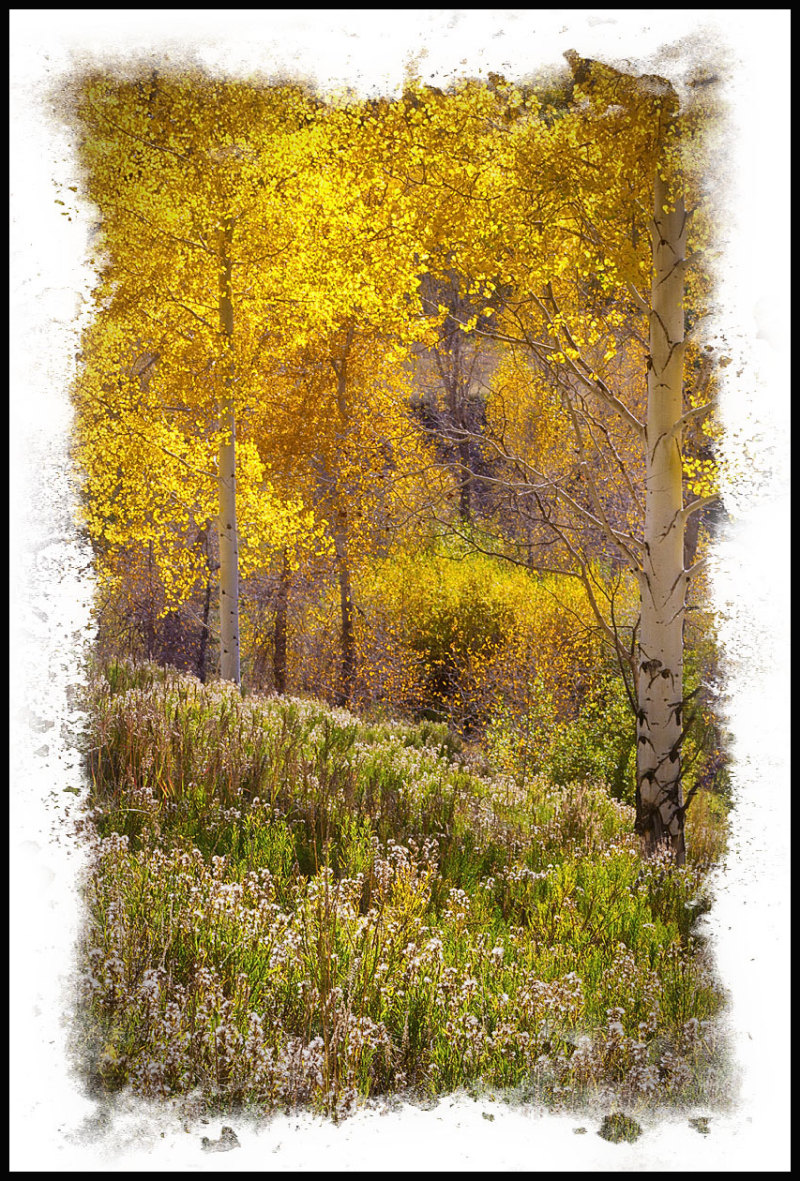 Aspens glimmer with the setting sun