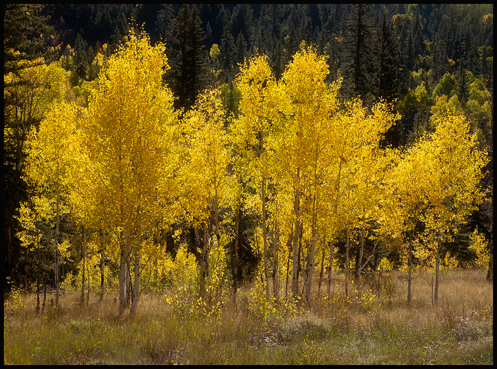 Grove of Aspens with back lighting