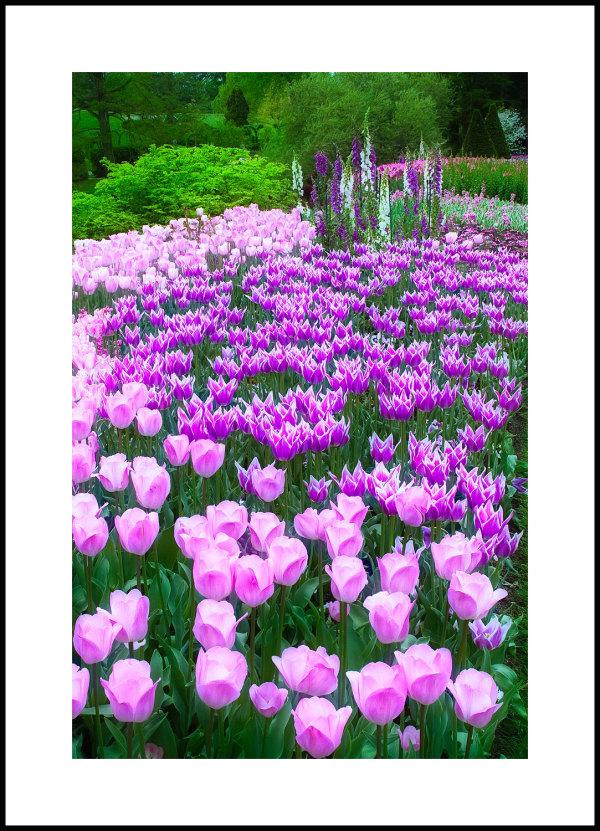 purple tulips in a garden