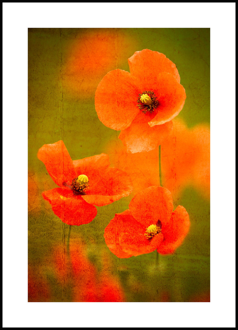 poppies with texture overlay