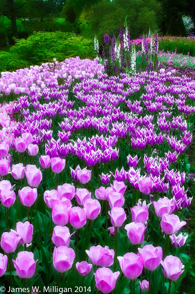 Tulip gardens at LongWood Gardens