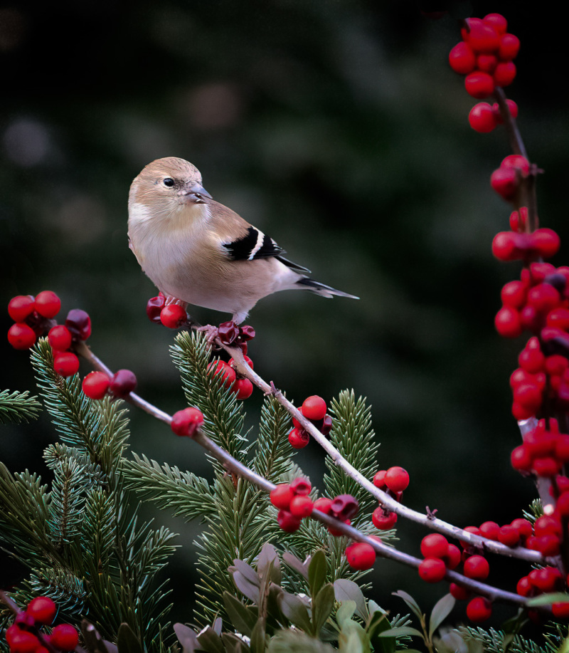Male Goldfinch in winter plumage perched on Winter