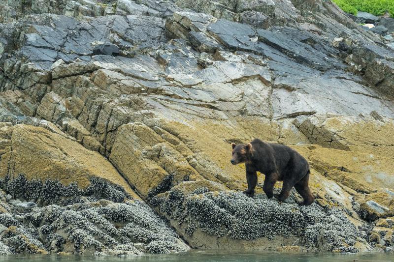 Brown Bear in alaska along the shore