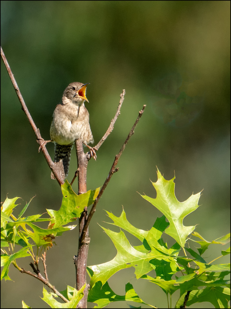 A male Housr Wren singing