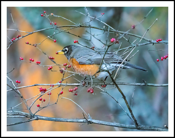 One of a flock of Robins feeding on winterberry