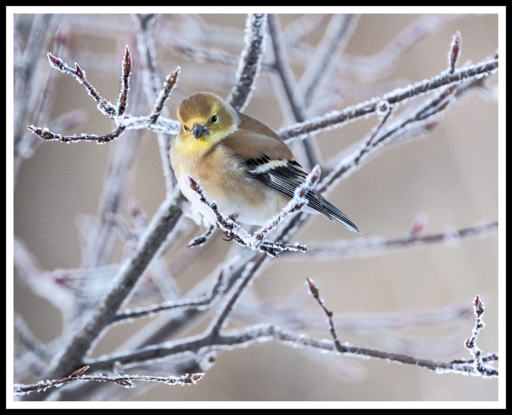Goldfinch waits for feeder during snow storm