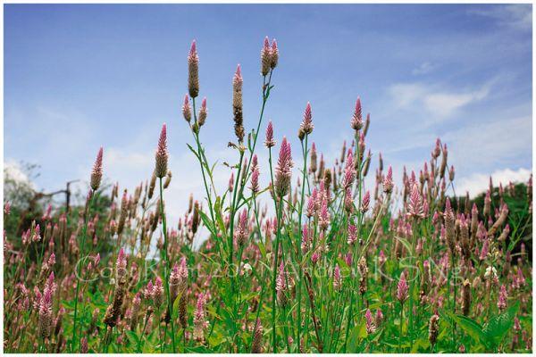 Celosia argentea linn, wild cockscomb