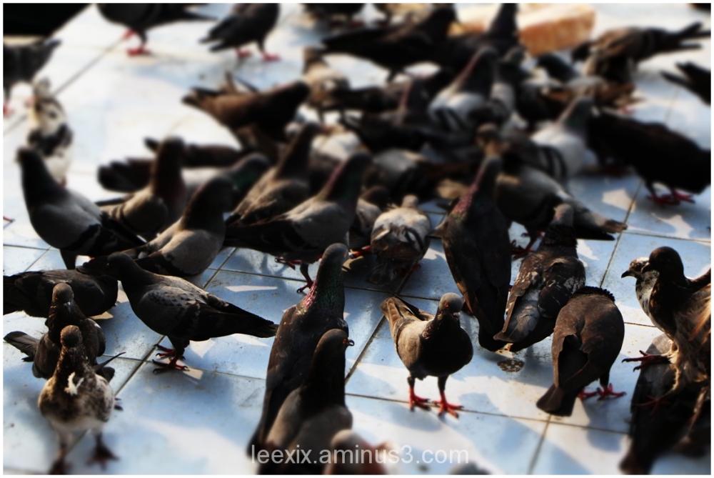 Pigeon's feast