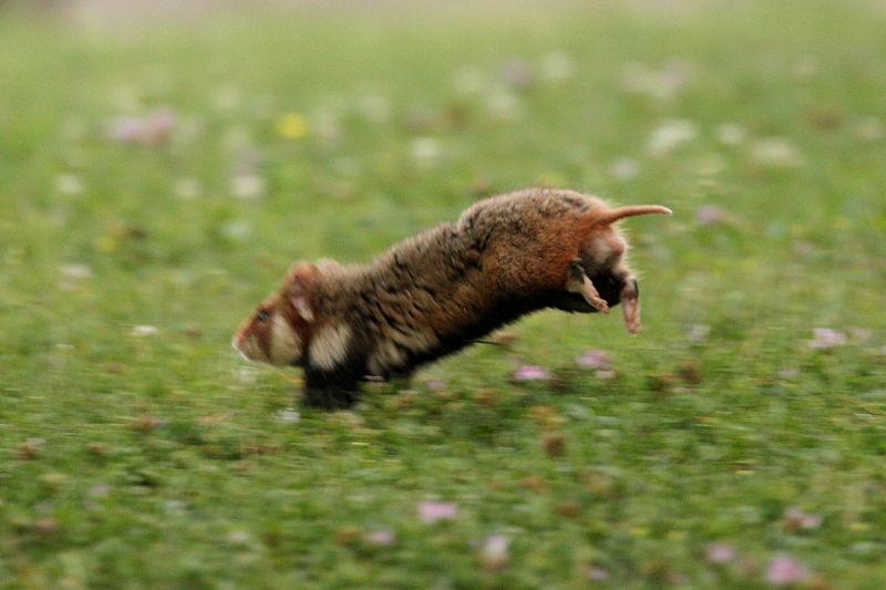 Feldhamster springt / European hamster jumping