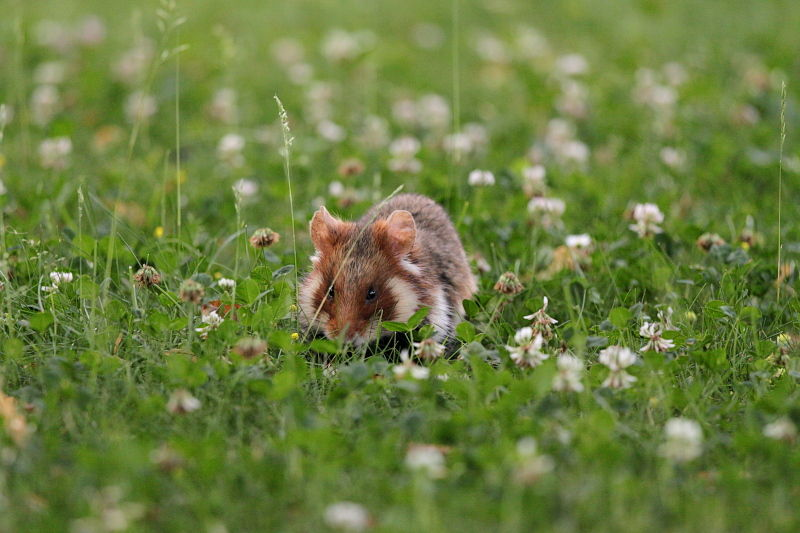 European hamster foraging on the grass