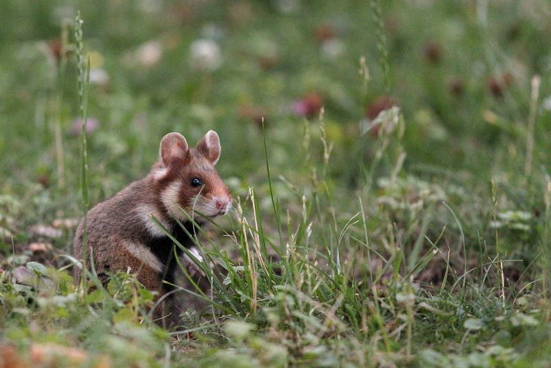 junger Feldhamster young European Hamster on grass
