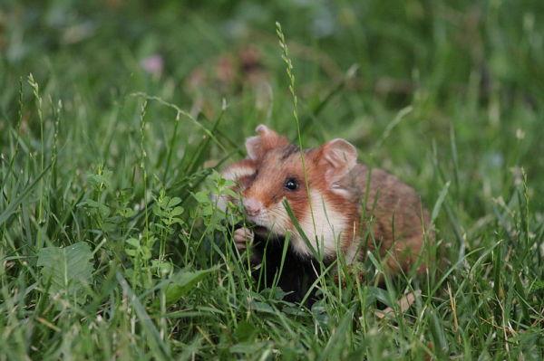 Female European hamster foraging