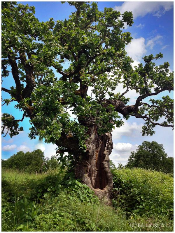 Survivor--Old Tree #1