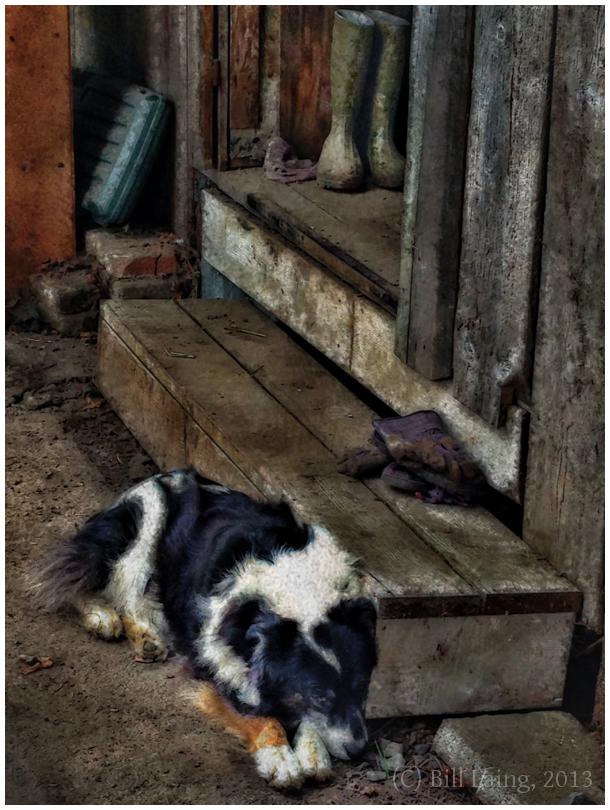 Farm Dog ~ Siesta
