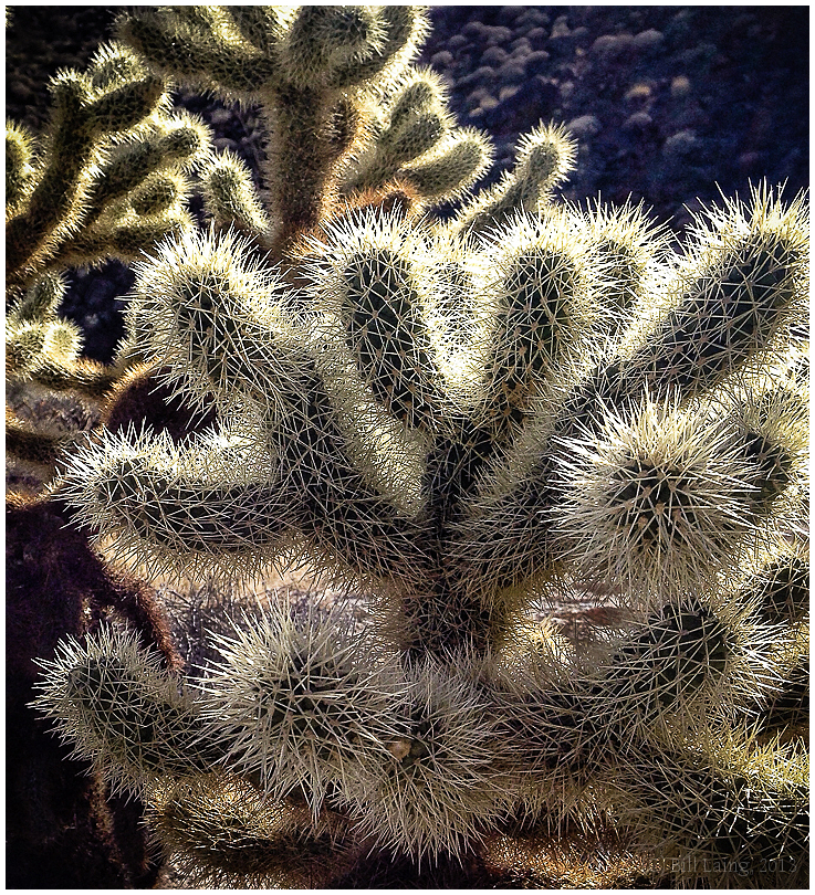 Cholla Cactus #1, Borrego Springs, CA