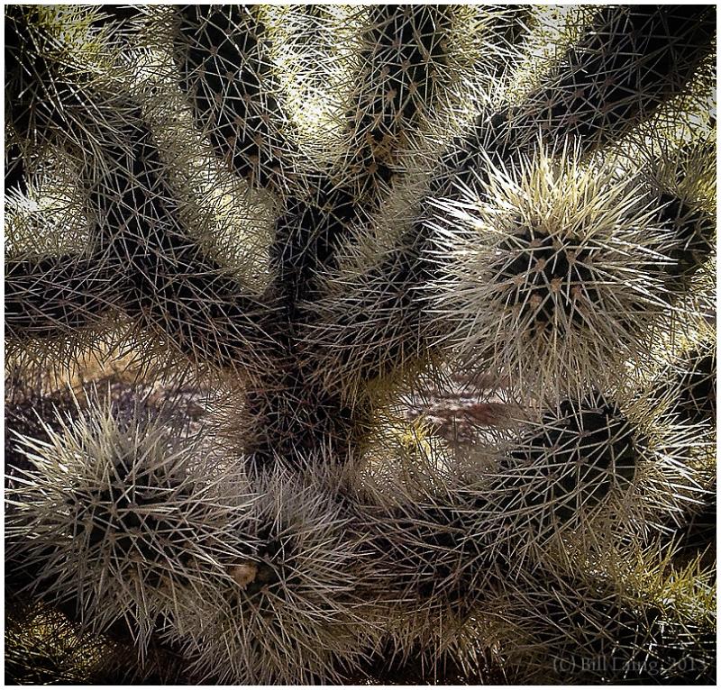 Cholla Cactus #2, Borrego Springs, CA