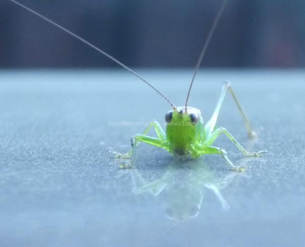 The Posing Grasshopper