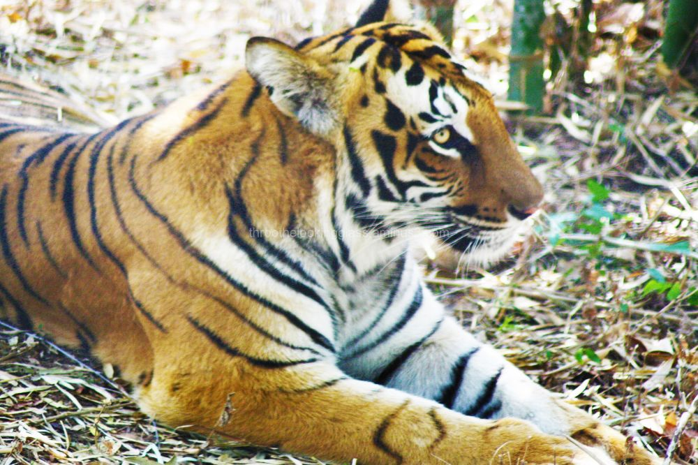 Jungle Musings of a Tiger