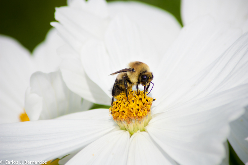 Bee on a margarite  in Montreal