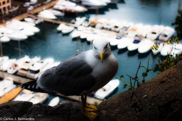 Pigeon at Montecarlo