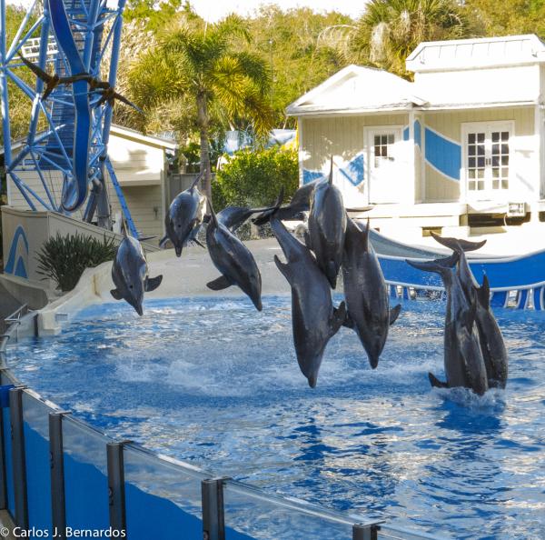 Dolphins at SeaWorld (Orlando)
