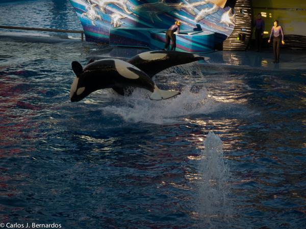 Whales at SeaWorld (Orlando)