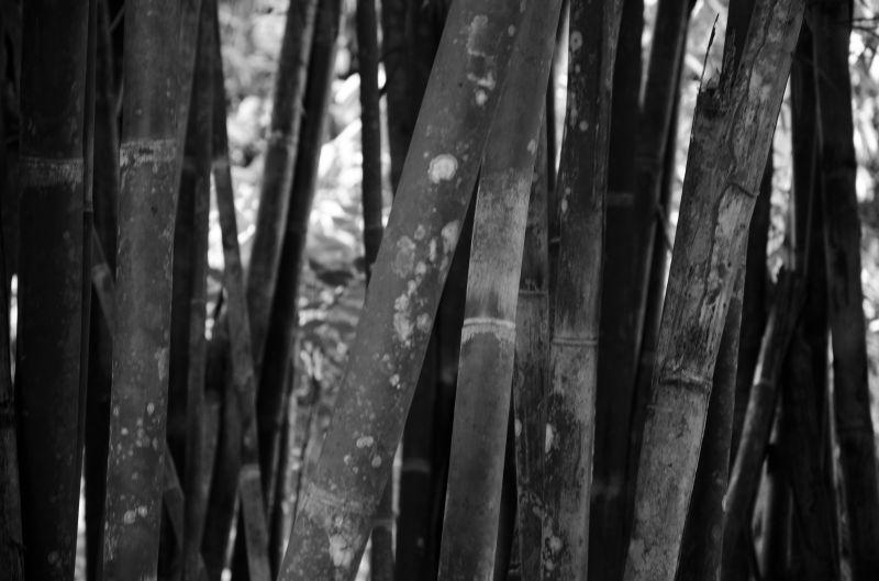 Bamboongus