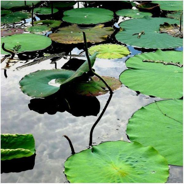 Around the Lotus Pond #3