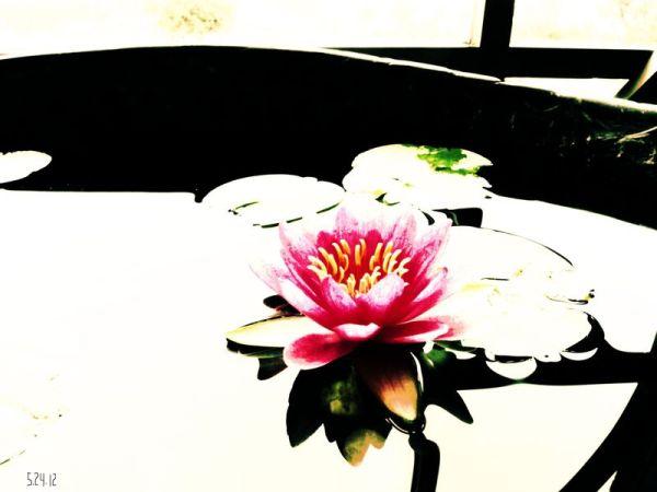 sleeping lotus in a stone vat