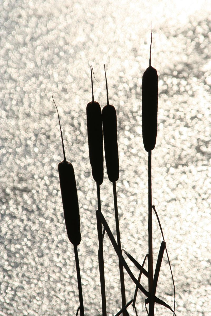 Rushes In Silhouette