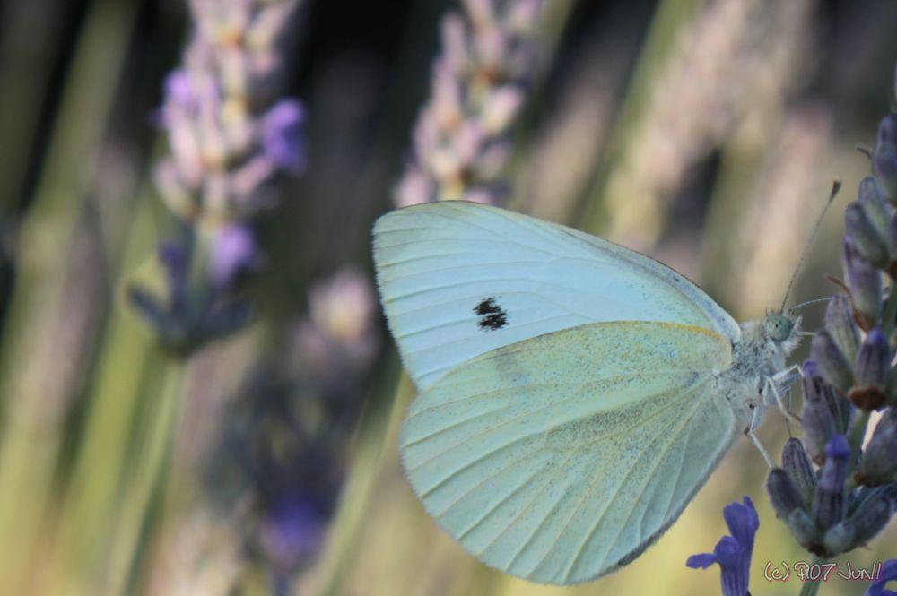 Papillon butinant la lavande