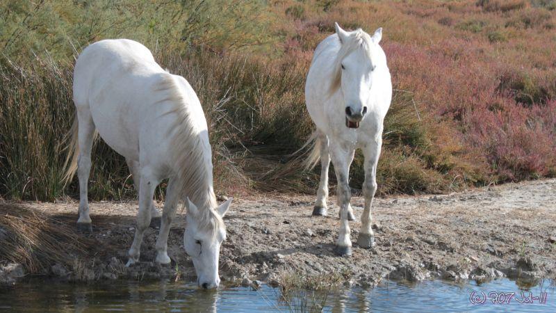 chevaux camarguais se désaltérant