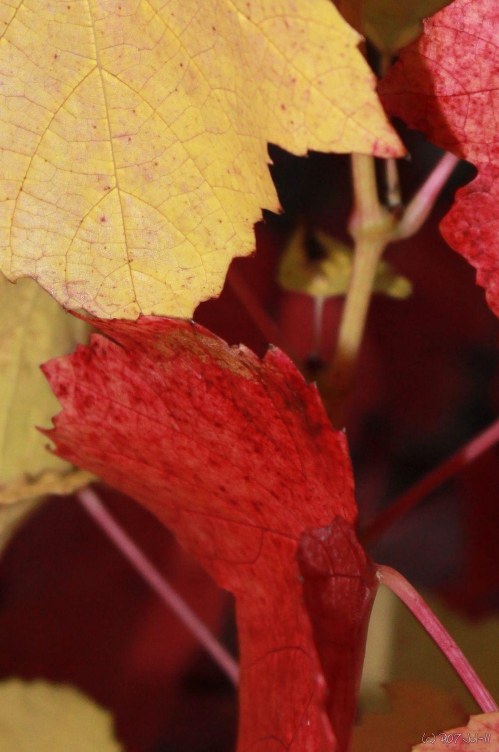 Feuilles de vigne à l'automne
