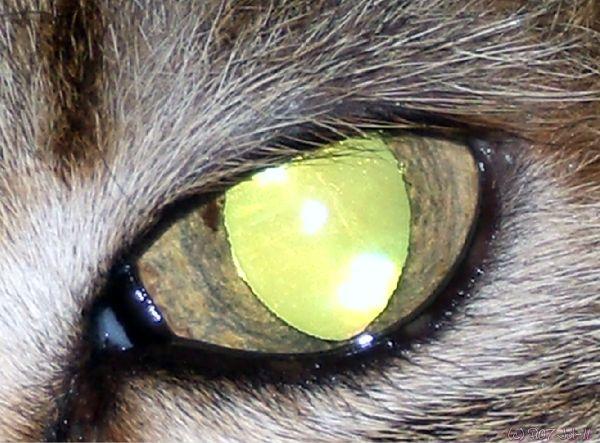 Gros plan d'oeil de chat