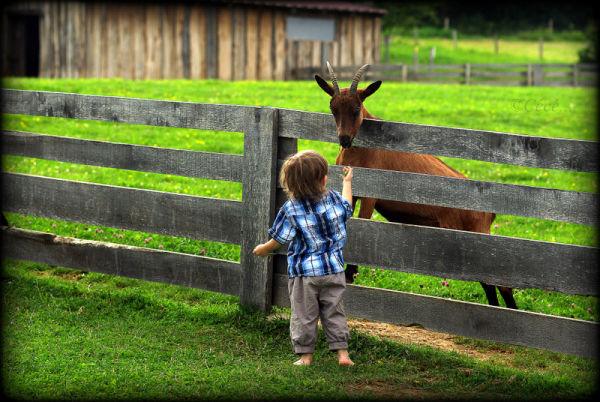 ...la chèvre et l'enfant...