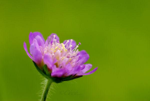 ...après le bouton vert,voici la fleur mauve....