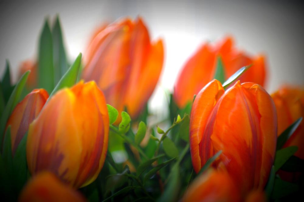 Tulipe Princesse Irène...
